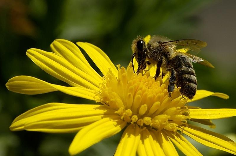 Honigbiene auf Blüte-800